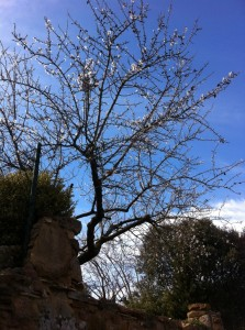 An almond tree in bloom. Spring in near!